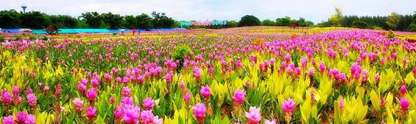 ขอเชิญเที่ยวงานทุ่งดอกกระเจียวสื่อรักวันแม่ จ.สุพรรณบุรี